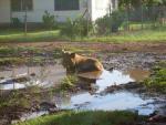 pig in a mudhole in Tonga